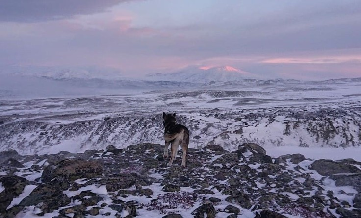The polarnight in Abisko lasts for 2,5 months. Here Scout is watching the sun shine on the peaks of the mountains on the other side of Torneträsk in late January.